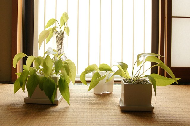 Pothos plants basking in the sun