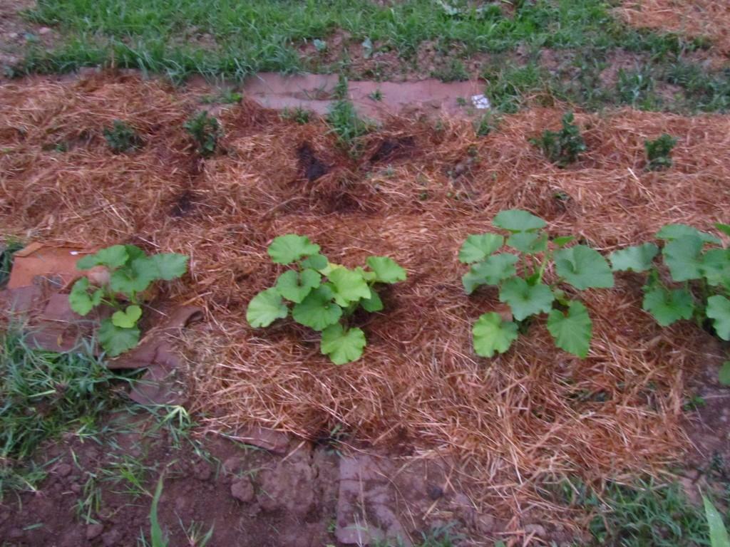 side by side pumpkin plants